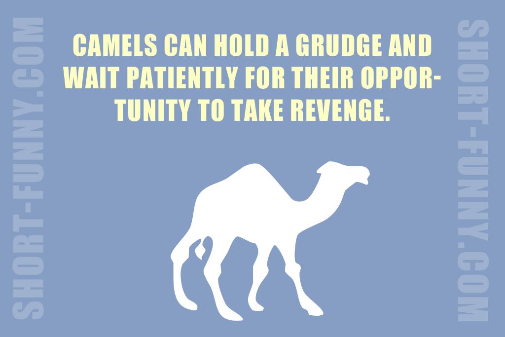Surprising camel fact